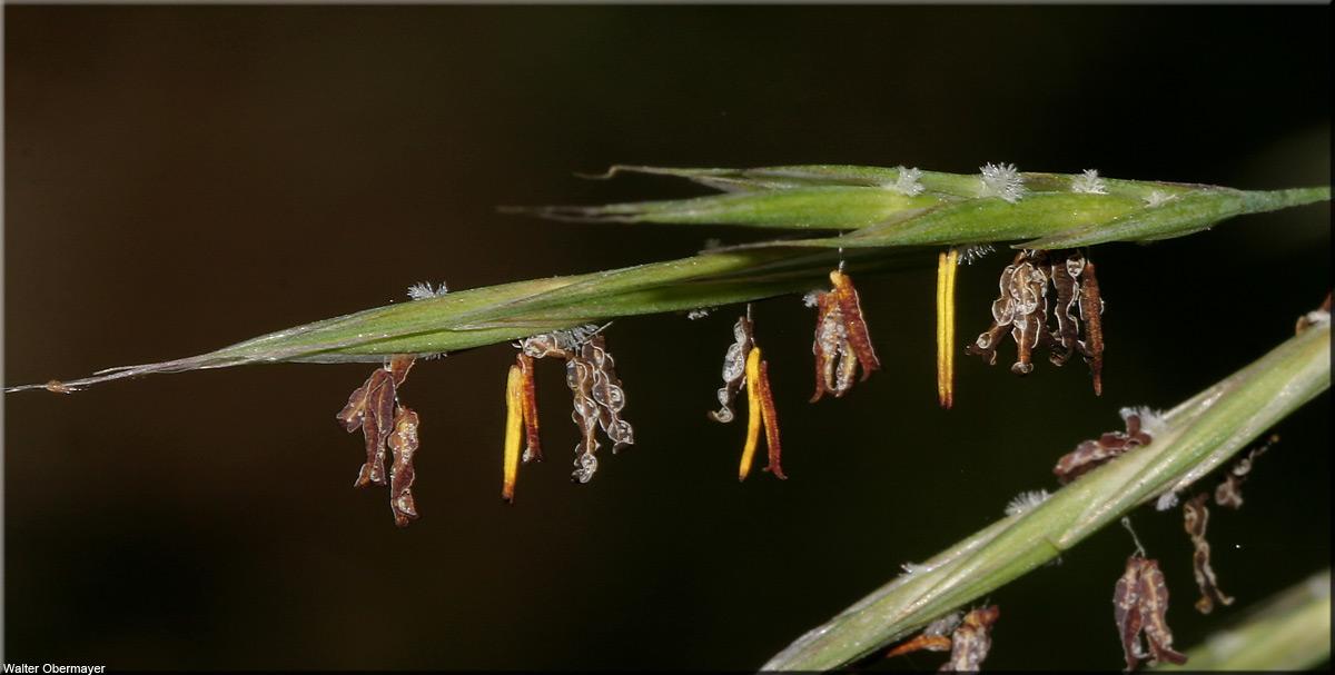 Bromus erectus (Aufrecht-Trespe) -- back to mainpage