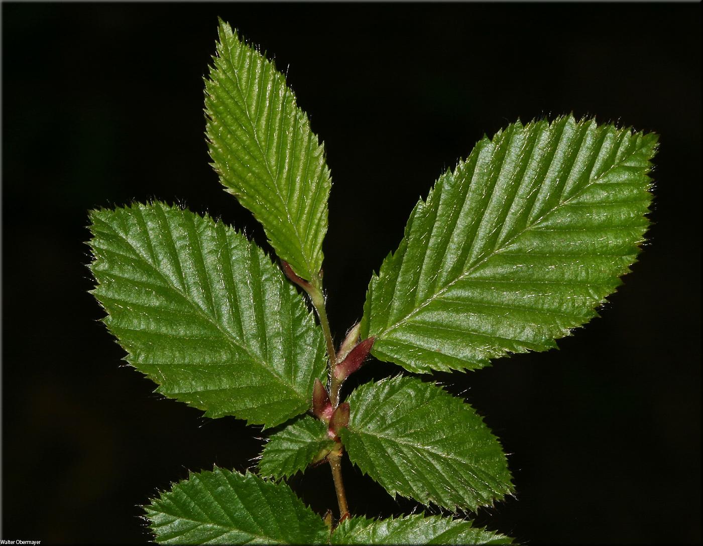 Fagus Sylvatica Carpinus Betulus