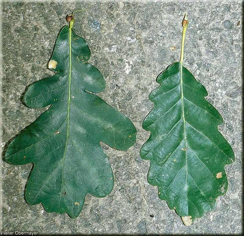 quercus-petraea-obermayer